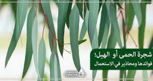 شجرة الحمى أو الهيل؛فوائدها ومحاذير في الاستعمال