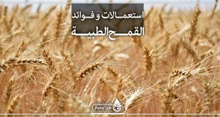 فوائد القمح الطبية