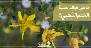 ما هي فوائد عشبة الختم الذهبي