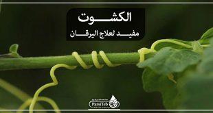 الكشوت مفيد لعلاج اليرقان