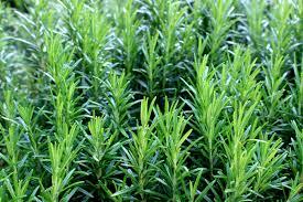 رائحة العرق الكريهةبالأعشاب-إكليل الجبل