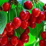13 فاكهة لحرق الدهون-الكرز
