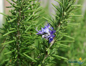 8 أعشاب طبية لصحة وتقوية الدماغ-إكليل الجبل