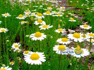 8 أعشاب طبية لصحة وتقوية الدماغ-البابونج
