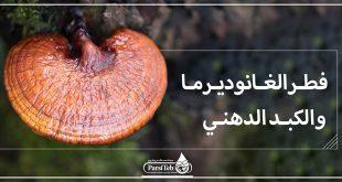 فطر الغانوديرما والكبد الدهني