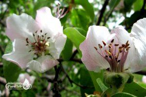 فوائد مستحلب(شاي) الزهور وبراعم السفرجل