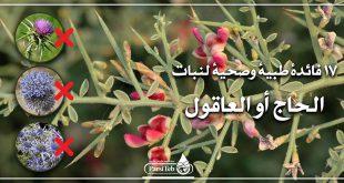 17 فائدة طبية وصحية لنبات الحاج أو العاقول أو شوك الجمال